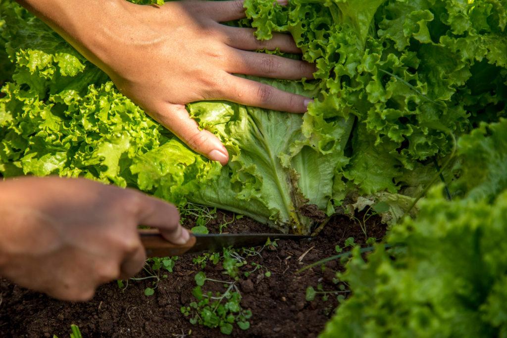 Ernte von Schnittsalat