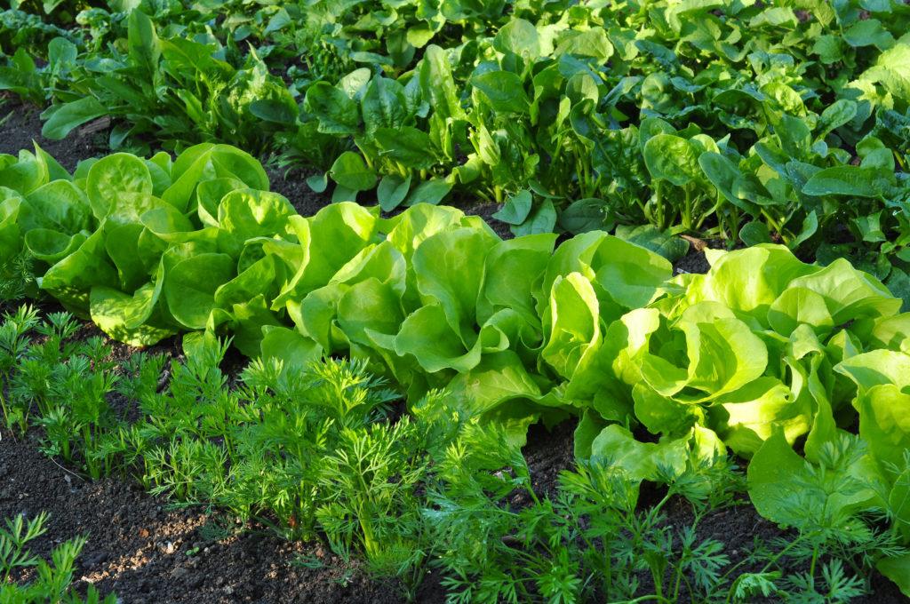 Schnitt- und Pflücksalat als Beetnachbar