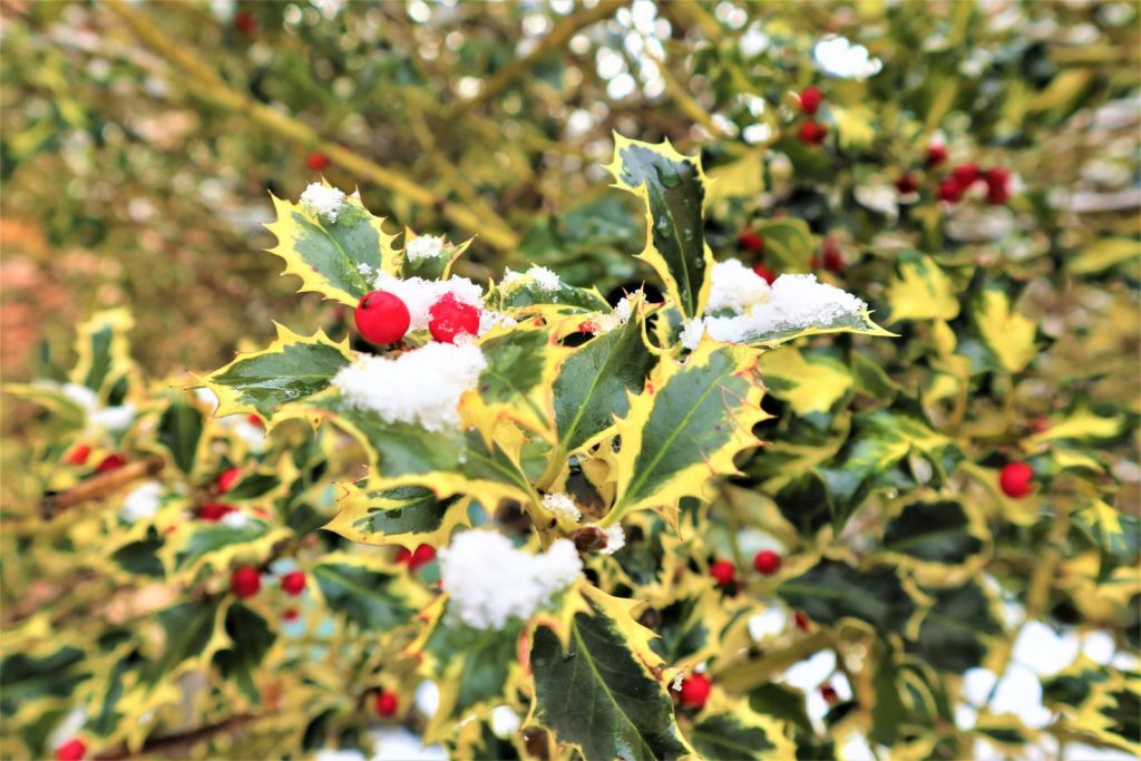 Stechpalme mit Beeren mit Schnee