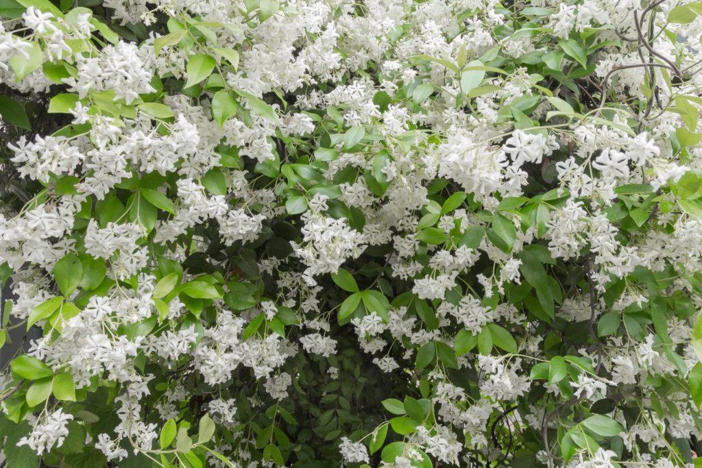 Sternjasmin mit weißen Blüten