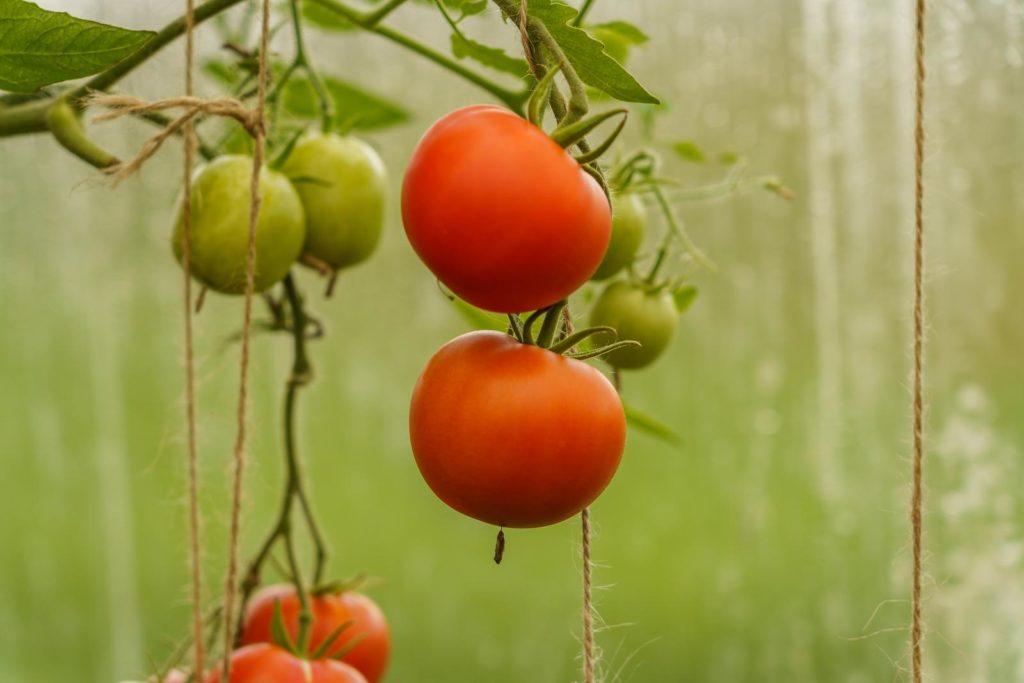 Tomatenpflanze mit Früchten an Fensterscheibe