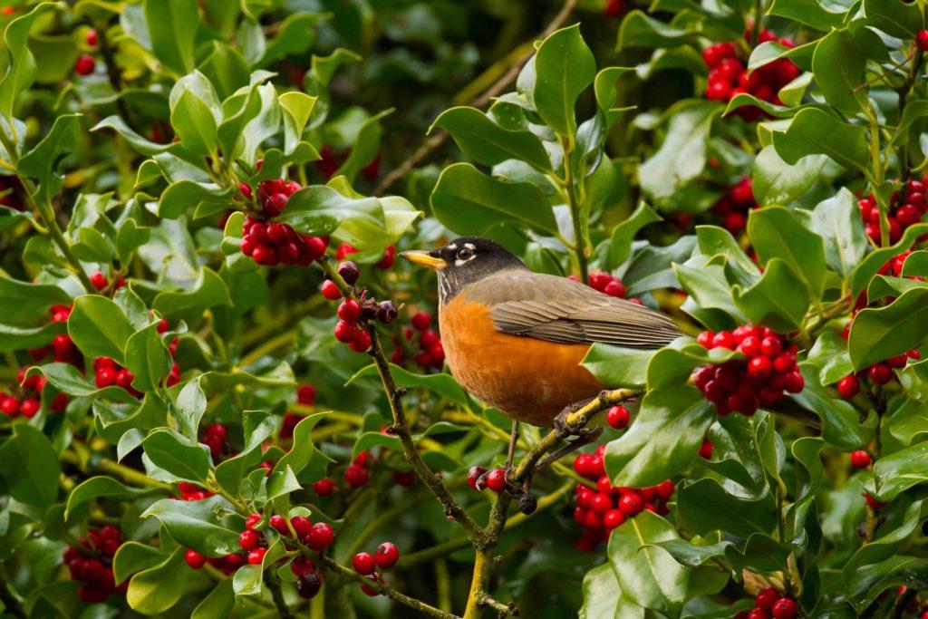 Vogel auf Stechpalmen-Strauch sitzend