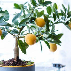 Zitronenbaum überwintern Im Topf
