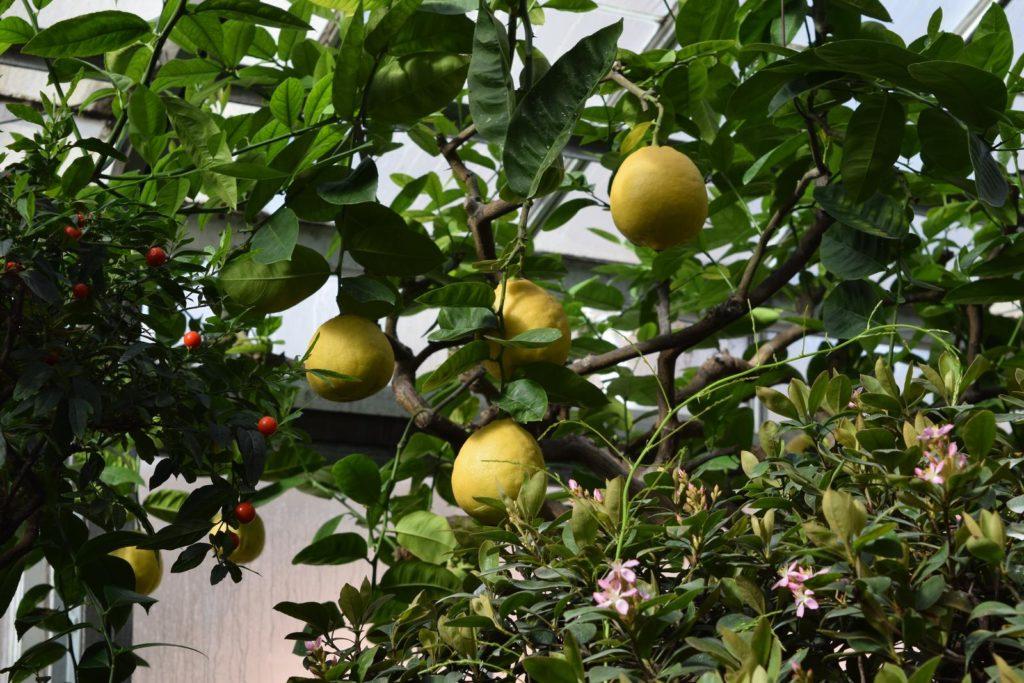 Zitronenbaum mit Früchten drinnen