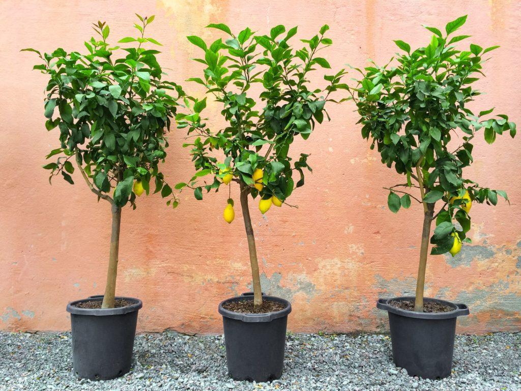 Zitronenbäume im Topf
