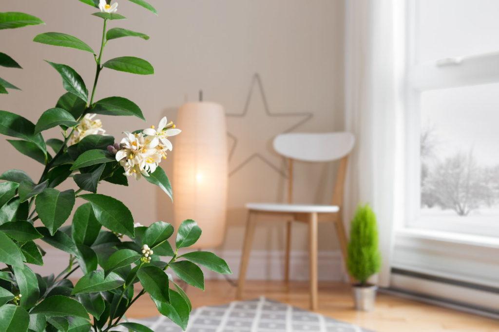 Zitronenbaum im Wohnzimmer überwintert