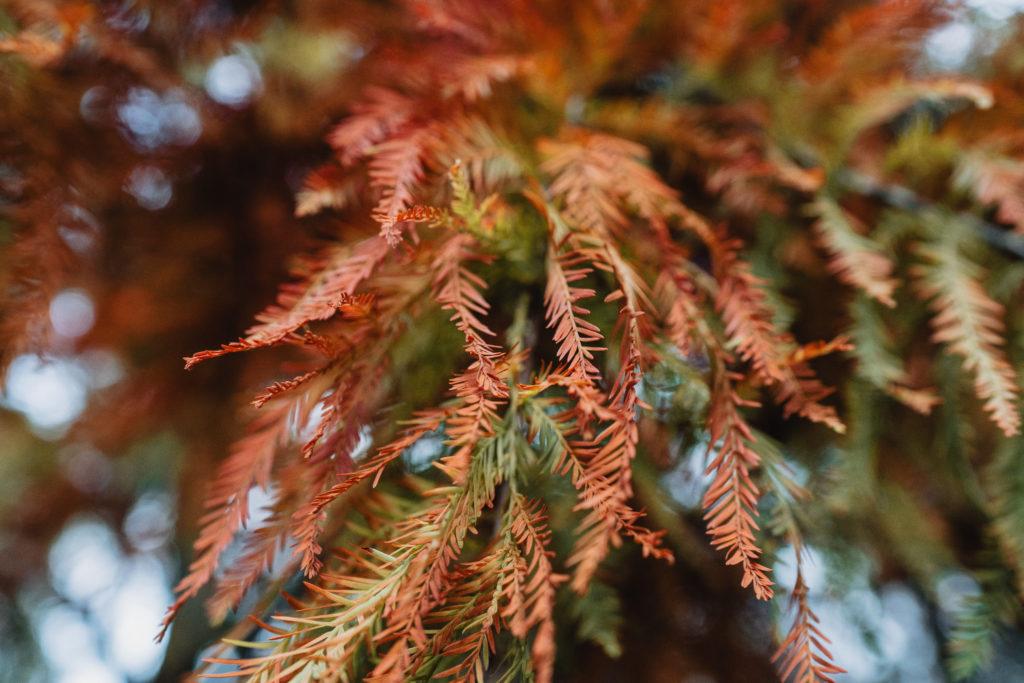 Zypressen-Zweige mit braunen Stellen