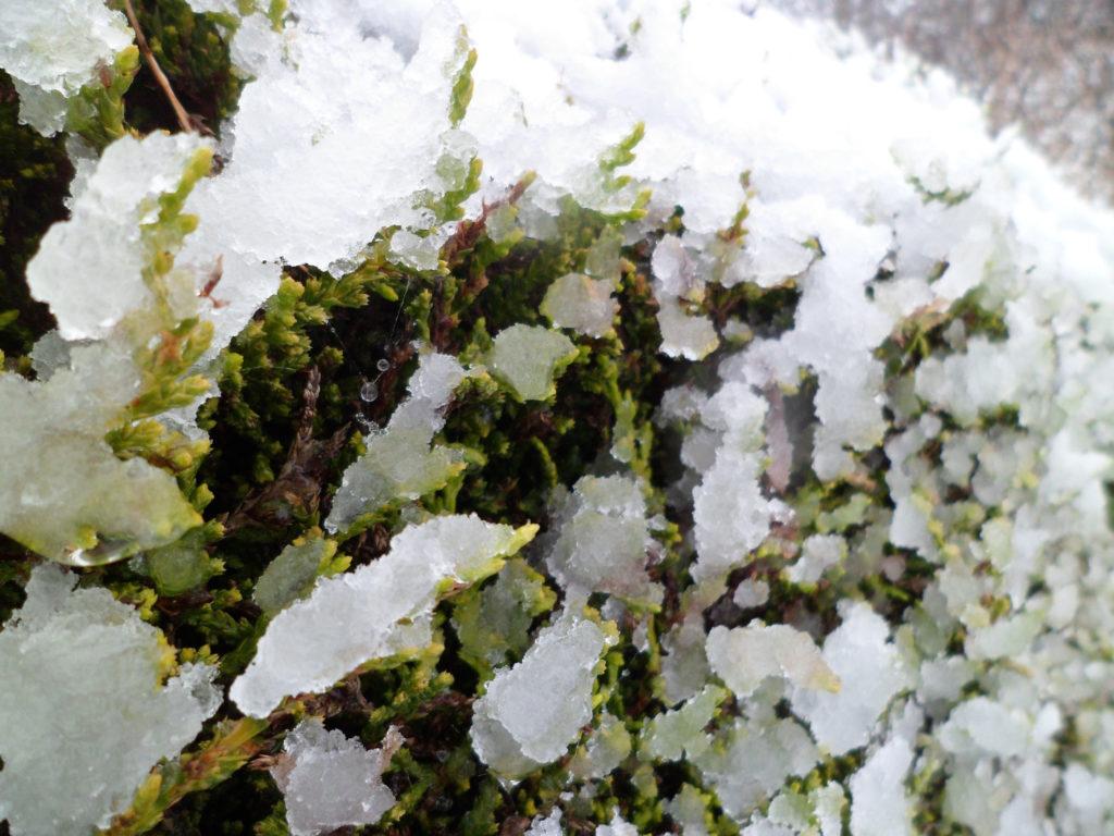 Zypressen-Hecke im Schnee