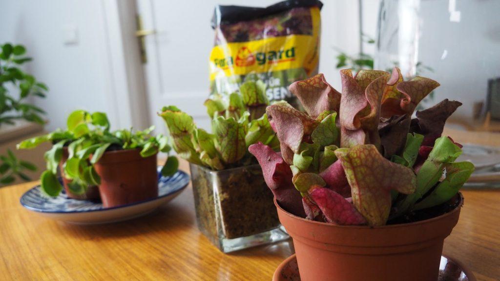 Flaschengarten-Fleischfressende Pflanzen-Floragard