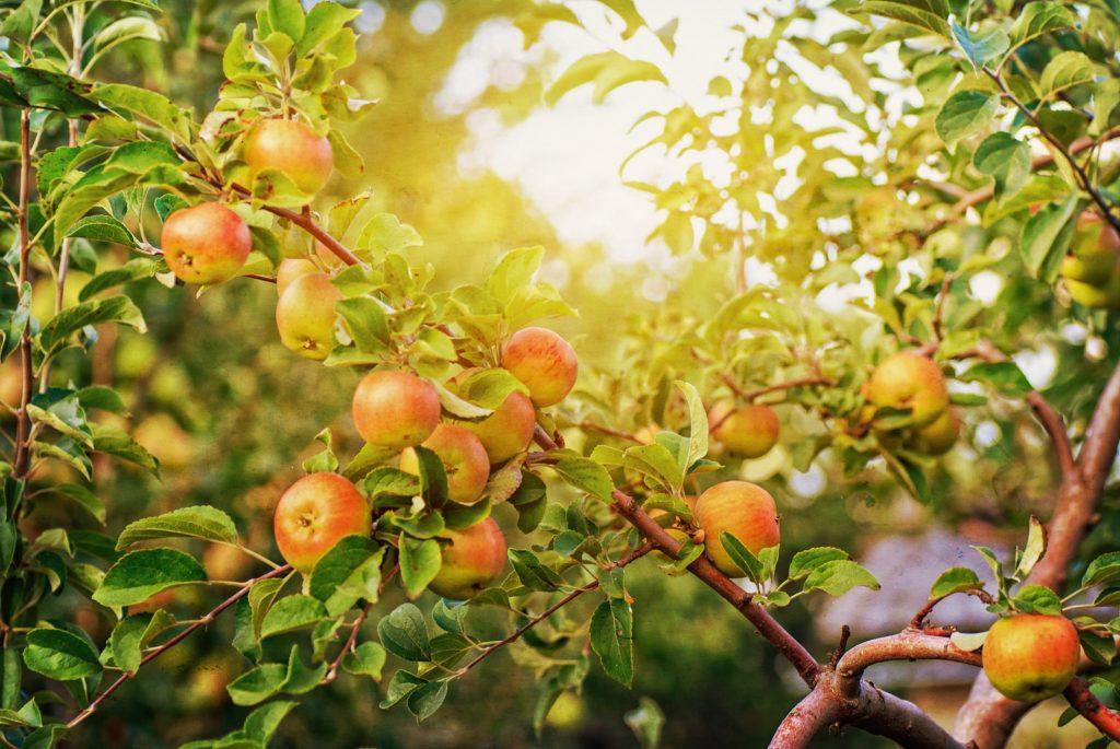 Äpfel hängen an Baum