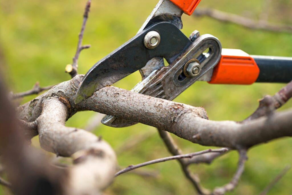 Baum wird mit Gartenschere geschnitten