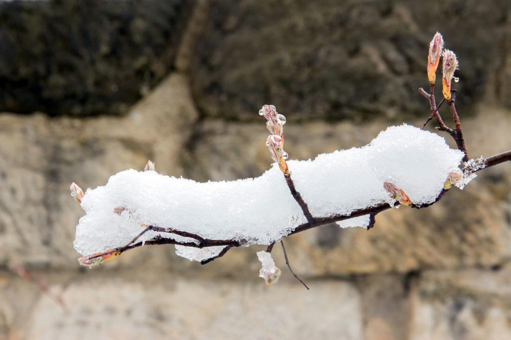 Ast der Felsenbirne mit Schnee bedeckt