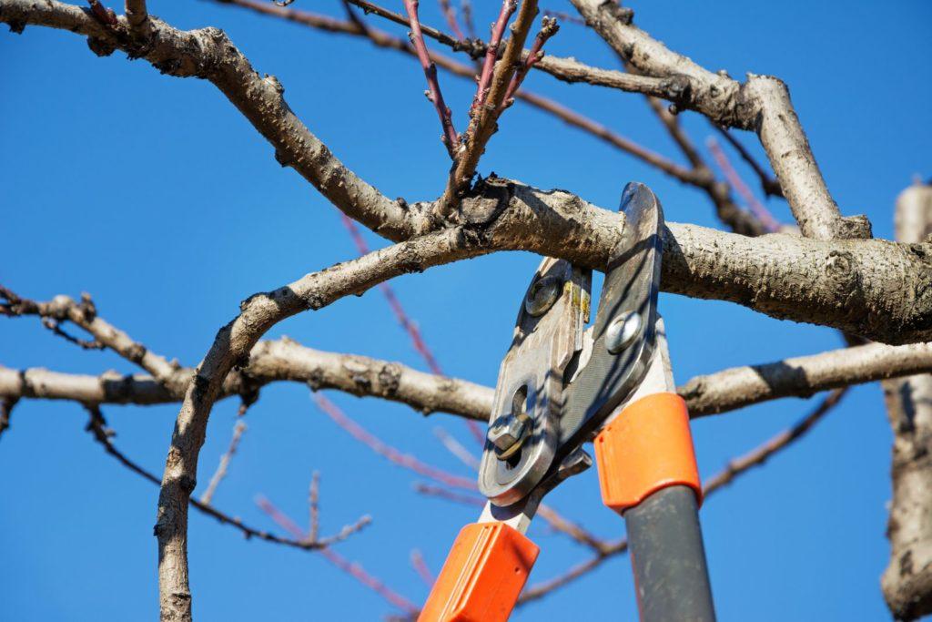 Baum mit Astschere zugeschnitten