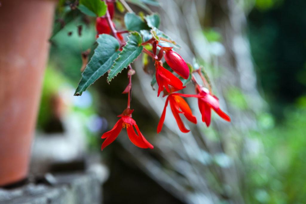 Begonia boliviensis mit roten Blüten