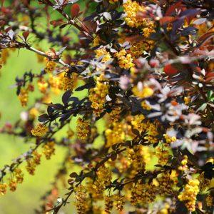 Berberitze Mit Gelben Blüten