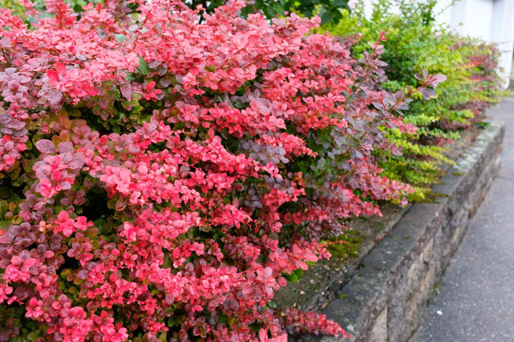 Berberitzen-Hecke mit pinken Blättern