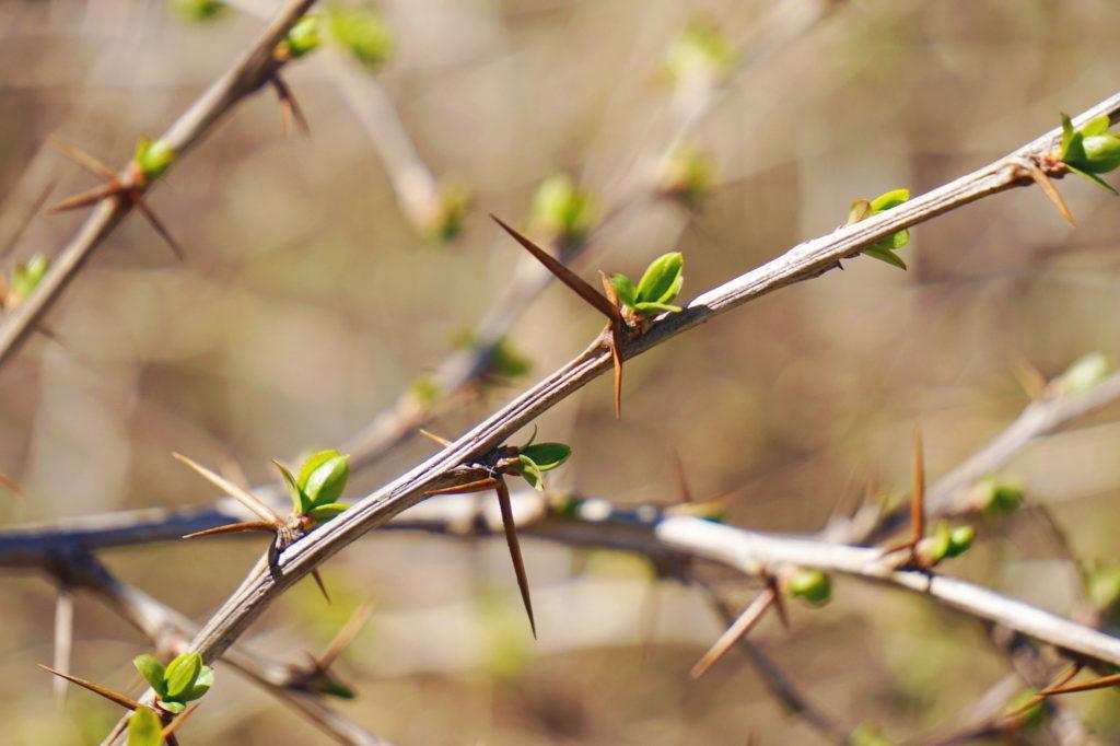 Berberitzen-Zweige mit Dornen