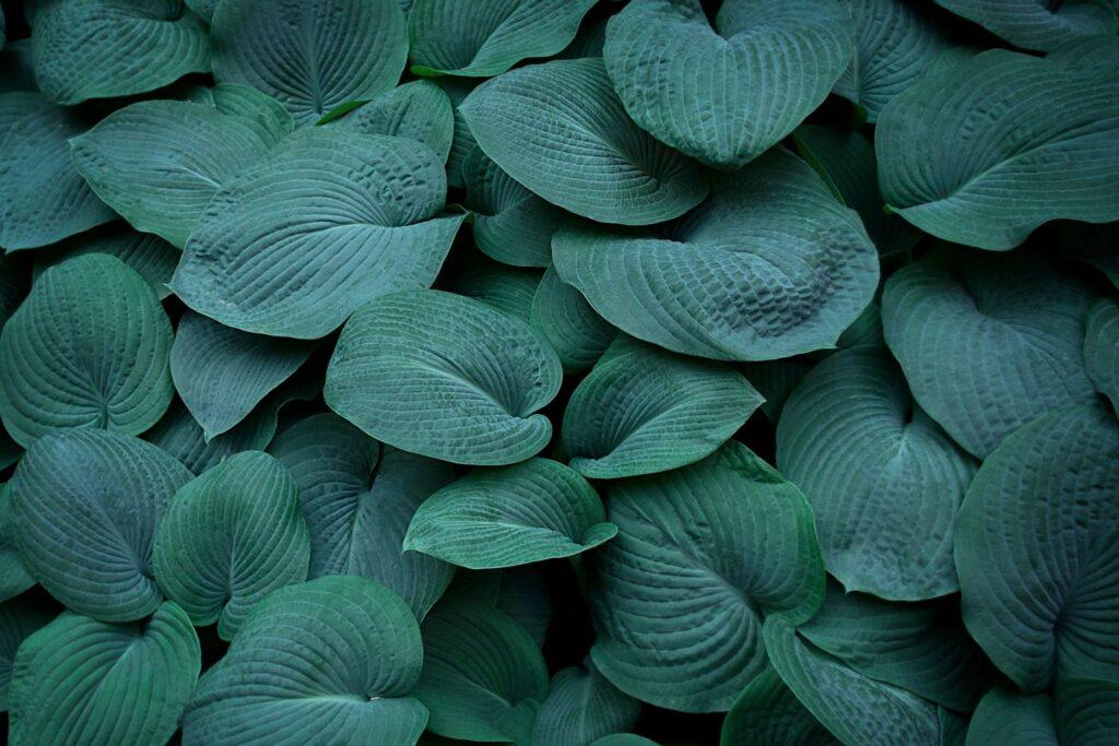Blätter der Graublauen Funkie