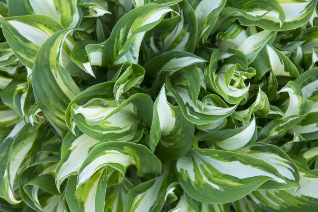 Blätter der Hosta undulata