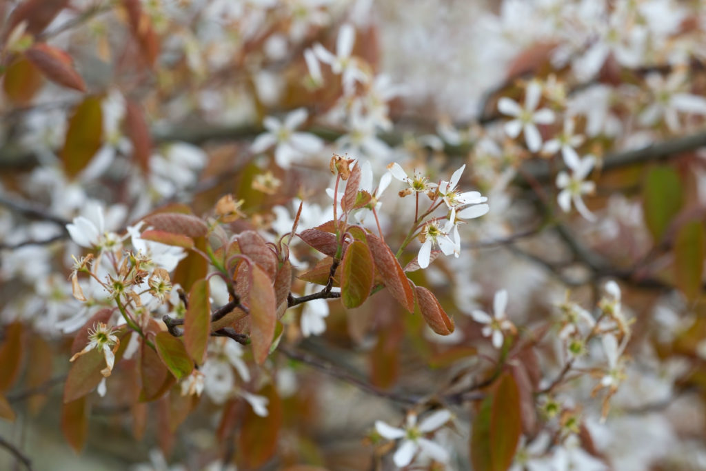 Blüten der Felsenbirne an Zweig