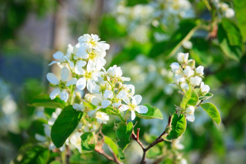 Blüten der Felsenbirne