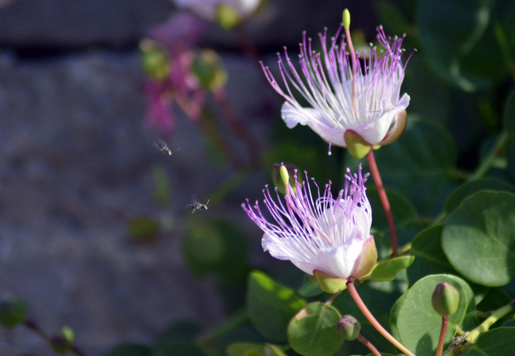 Blüten der Kapernpflanze