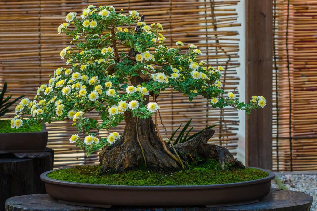 Bonsai mit weiß-gelben Blüten