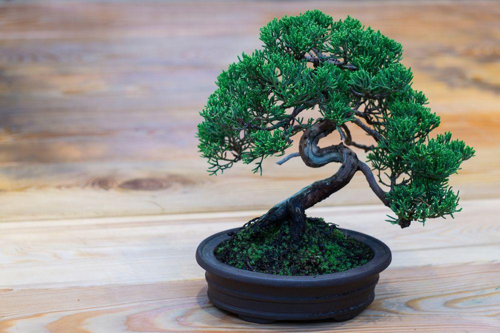 Ein japanischer Wacholder-Bonsai