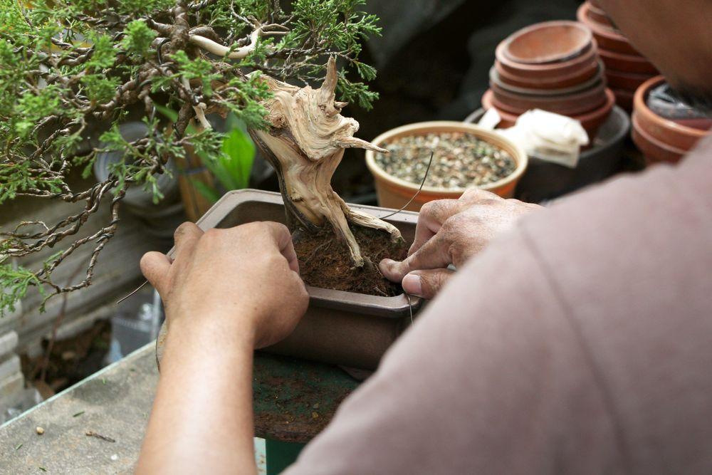 Bonsai wird umgepflanzt
