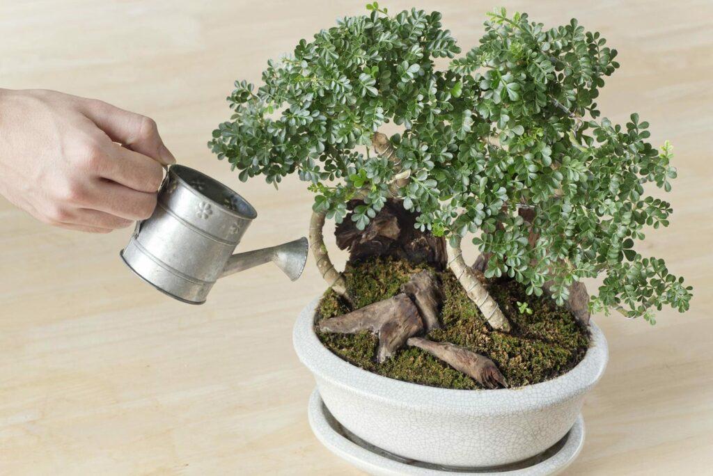 Bonsai mit kleiner Gießkanne gießen