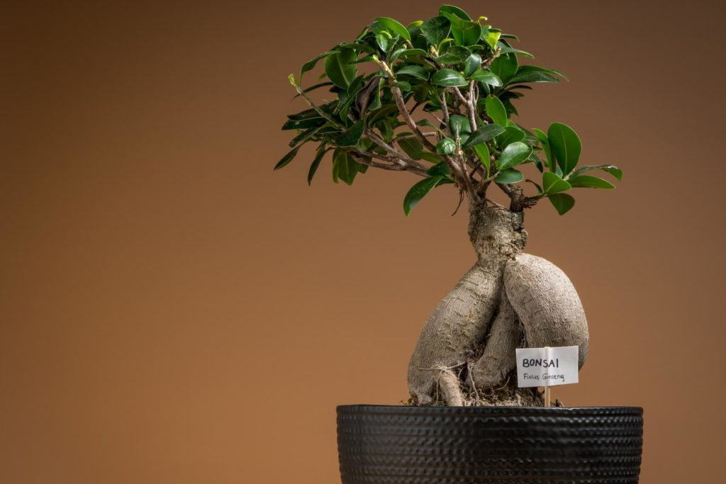 Ginseng-Bonsai