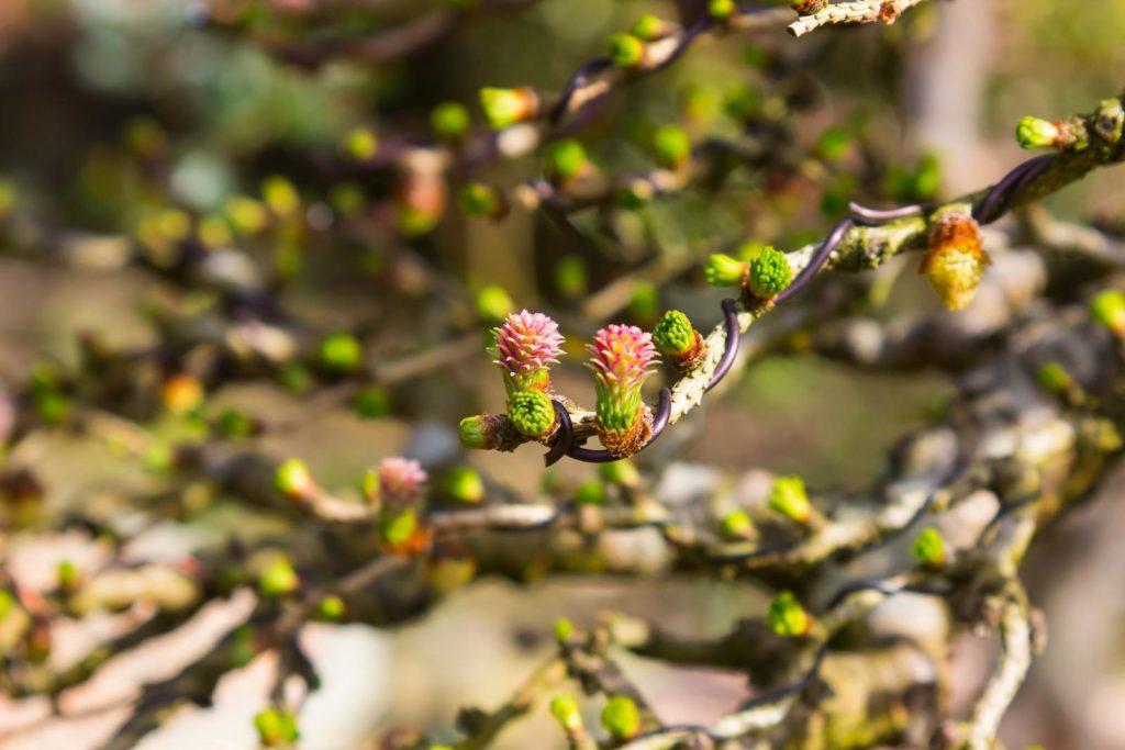 Blüten der Lärche