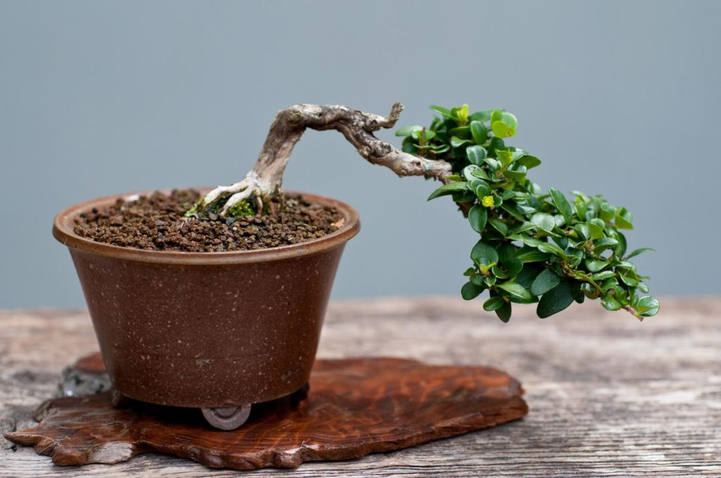 Mispel als Bonsai
