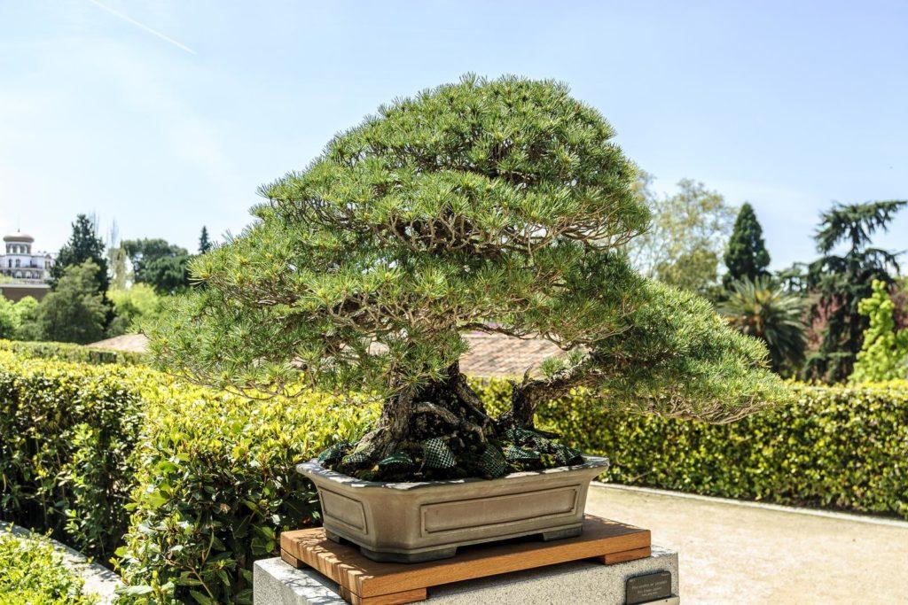 Bonsai im freien