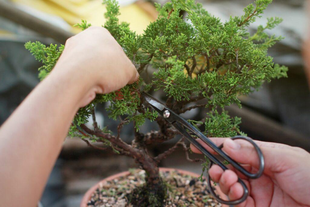 Bonsai der geschnitten wird