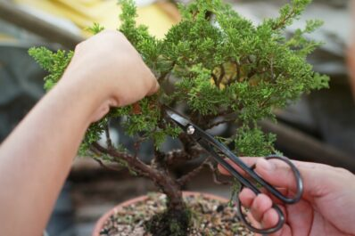 Bonsai schneiden: Das richtige Vorgehen für den perfekten Schnitt