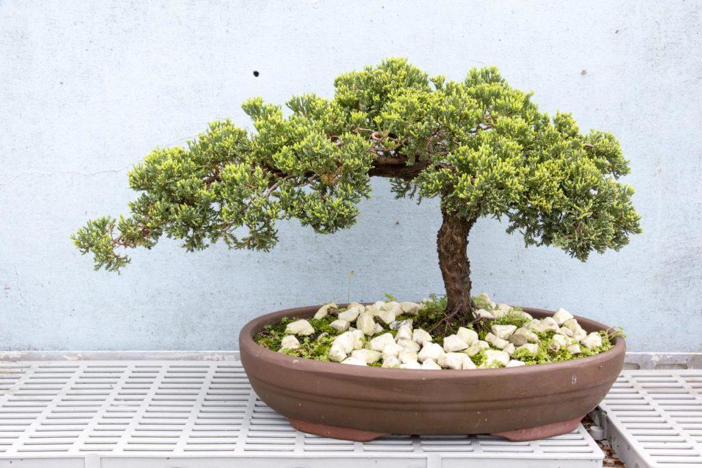 Steineibe als Bonsai