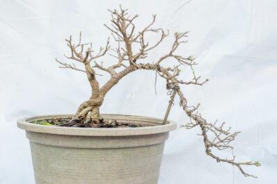 Bonsai verliert Blätter: Was kann man dagegen tun?