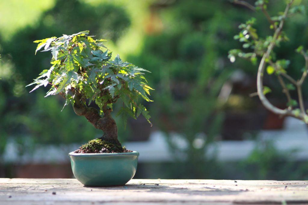 Bonsai im Freien stehend
