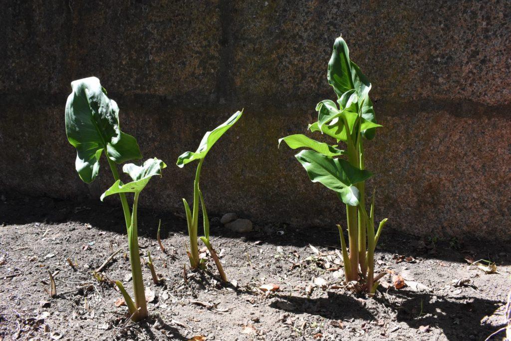Ausgepflanzte Callas im Beet