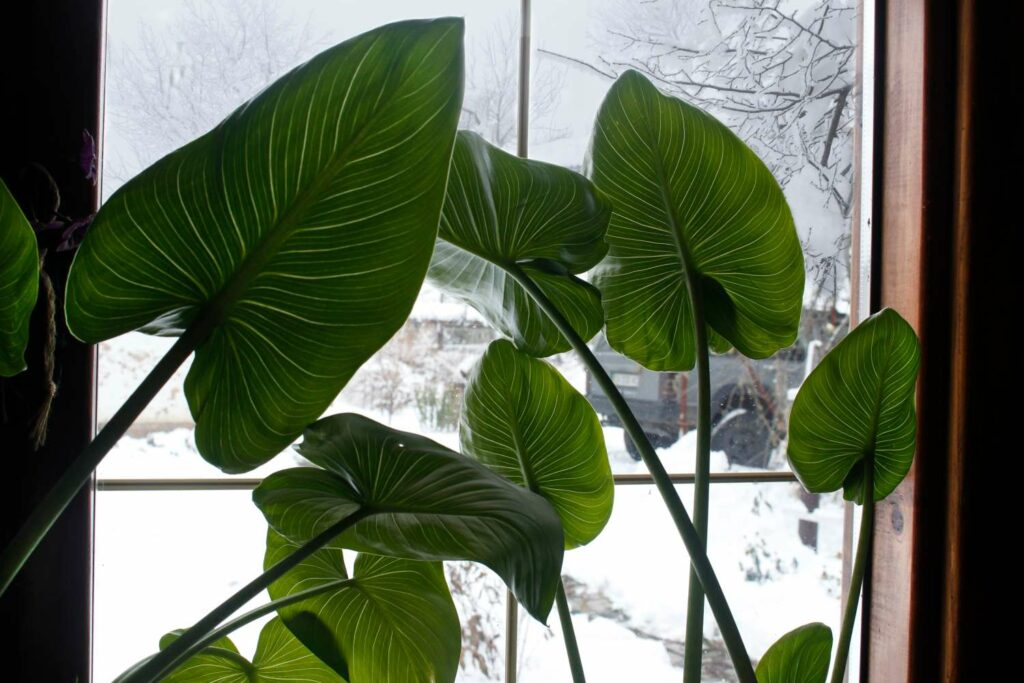 Calla im Winter auf dem Fensterbrett