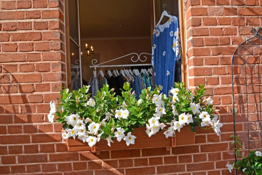 Dipladenia mit weißen Blüten am Fenster