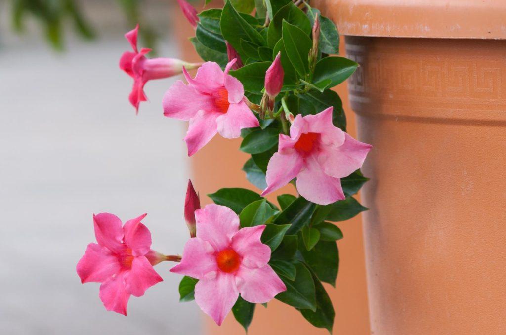Dipladenia mit rosa Blüten im Topf wachsend