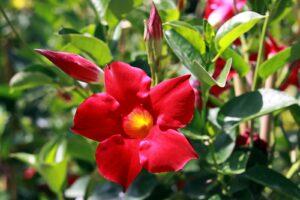 Dipladenia Mit Roten Blüten