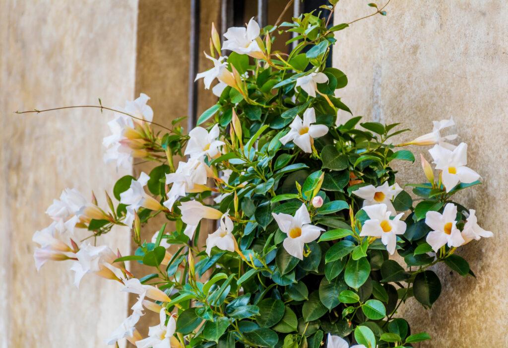Dipladenia mit weißen Blüten an Hauswand