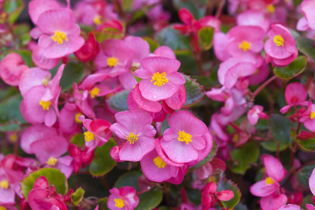 Eisbegonie mit rosa Blüten