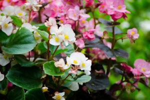 Eisbegonien Mit Rosa Und Weißen Blüten