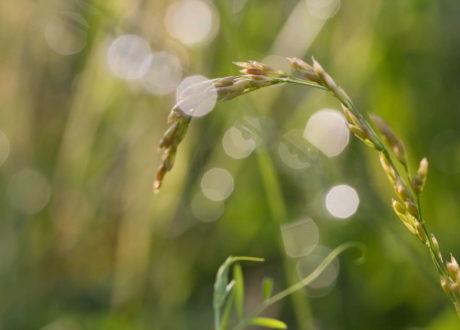 Festuca Arundinacea-Grashalm