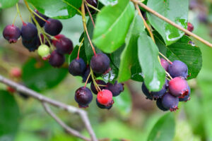 Früchte Der Felsenbirne An Zweig