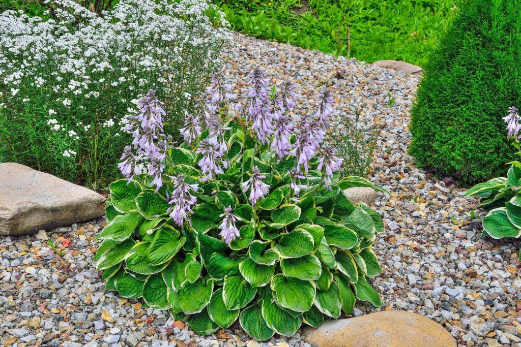 Funkie mit lila Blüten in Beet